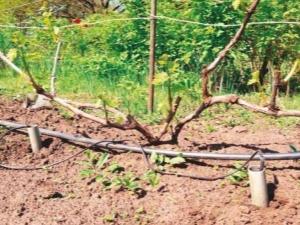 Полив винограда: тонкости и частые ошибки