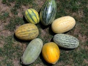 Популярные разновидности дыни
