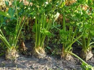 Сельдерей: выращивание и уход за растением в открытом грунте