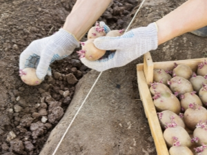 Схемы и способы посадки картофеля