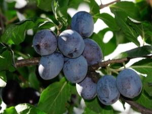 Слива: ботанические особенности дерева и влияние фруктов на организм человека