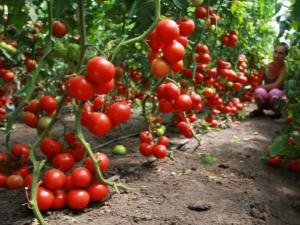 Совместимость помидоров с другими растениями в одной теплице