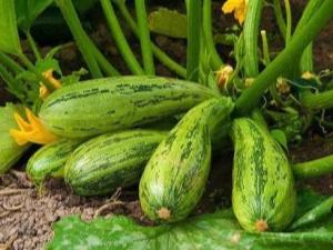 Способы борьбы с болезнями и вредителями кабачков