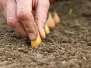 Технология посадки лука-севка «Голова садовая»