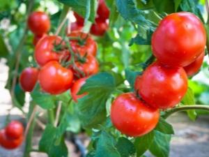 Томат «Санька»: описание сорта и особенности выращивания