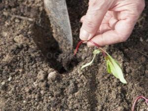 Тонкости посадки свеклы рассадой в открытый грунт