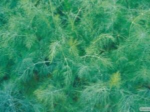 Укроп «Аллигатор»: особенности сорта и выращивание