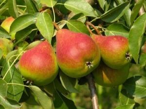 В чём особенности груши «Радужная» и как её вырастить?