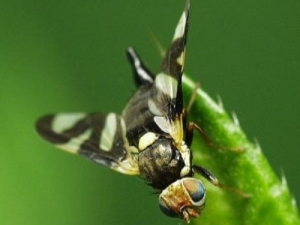 Вишневая муха: причины появления и меры борьбы с вредителем