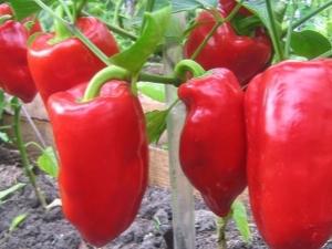 Выращивание перца: подготовка семян, посадка и уход