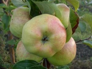 Яблоня «Богатырь»: характеристика и выращивание сорта