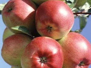 Яблоня «Лигол»: описание сорта, советы по выращиванию