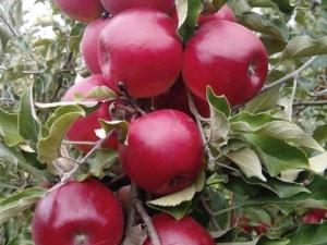 Яблоня «Макинтош»: описание сорта и выращивание