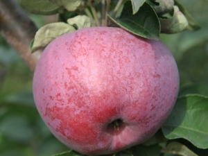 Яблоня «Подарок Графскому»: описание и состав плодов, выращивание сорта