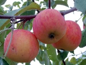 Яблоня «Подарок садоводам»: описание сорта и правила посадки
