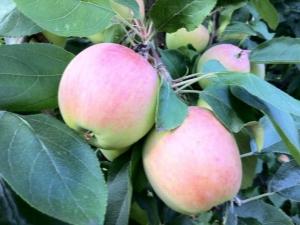 Яблоня «Скала»: описание сорта и особенности посадки