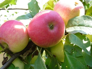 Яблоня «Солнышко»: описание сорта и секреты посадки