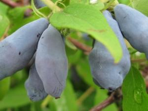 Жимолость «Золушка»: характеристика сорта и выращивание
