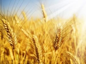 Чем озимая пшеница отличается от яровой и как ее выращивать?
