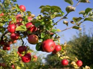 Чем подкормить яблоню во время и после цветения?