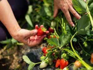 Чем подкормить землянику во время плодоношения?