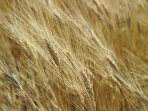 Головня пшеницы: профилактика и меры борьбы с болезнью