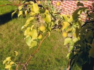 Хлороз яблони: почему появляется болезнь и как от неё избавиться?