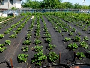 Как посадить клубнику под черный укрывной материал?