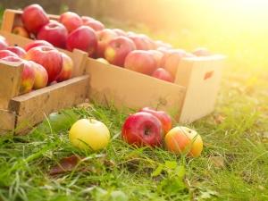 Какие яблоки полезнее: зеленые или красные, отличия состава плодов