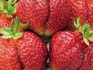 Клубника «Богема»: описание сорта и советы по выращиванию