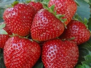 Клубника «Боровицкая»: описание сорта и выращивание