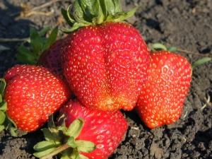 Клубника «Гигантелла»: описание сорта, выращивание и уход