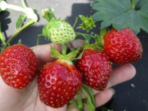 Клубника «Кама»: описание сорта и агротехника