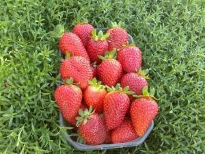 Клубника «Кент»: описание и особенности выращивания сорта