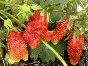 Клубника «Купчиха»: описание и выращивание сорта