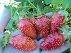 Клубника «Марышка»: характеристика и выращивание сорта