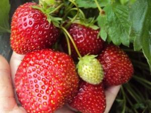 Клубника «Соловушка»: описание сорта и особенности выращивания