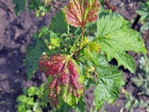 Красные пятна на листьях смородины: почему появляются и как лечить?