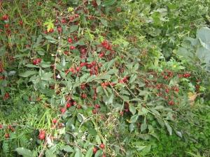 Кустарниковая вишня: сорта, посадка и уход