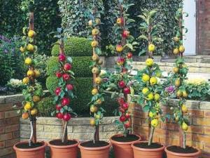 Лучшие сорта колоновидных яблонь