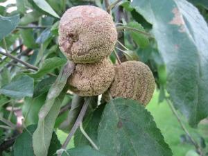 Монилиоз яблони: причины появления заболевания и методы лечения