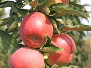 Описание сорта колоновидной яблони «Останкино»