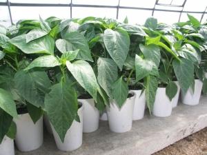 Особенности выращивания рассады перца