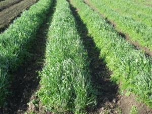 Овес как сидерат: особенности использования и выращивания