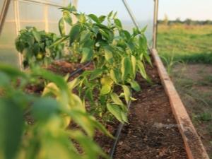Подкормка перцев в теплице: когда и какие удобрения использовать?