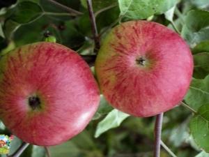 Яблоня «Болотовское»: описание сорта, выращивание и защита от вредителей
