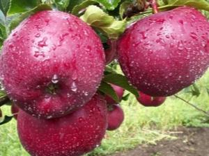 Яблоня «Лобо»: описание сорта и выращивание