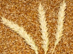 Яровая пшеница: свойства и особенности выращивания