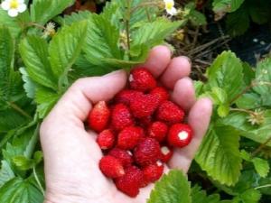 Земляника «Александрия»: описание сорта и особенности выращивания
