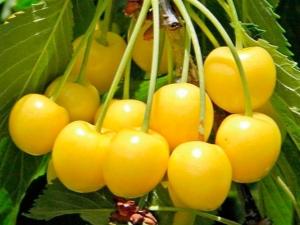 Желтая черешня: рейтинг лучших сортов и правила их выращивания
